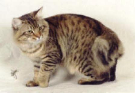 kucing-american-bobtail-lh-349