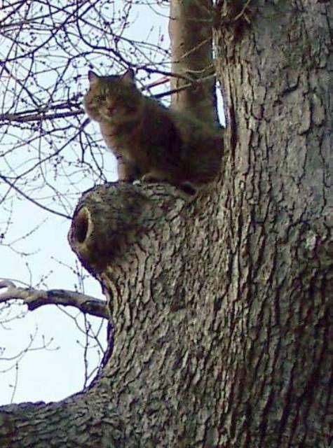 kucing-american-bobtail-lh-350