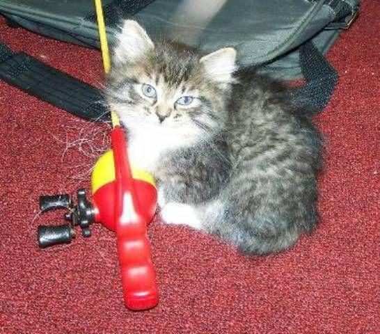 kucing-american-bobtail-lh-351
