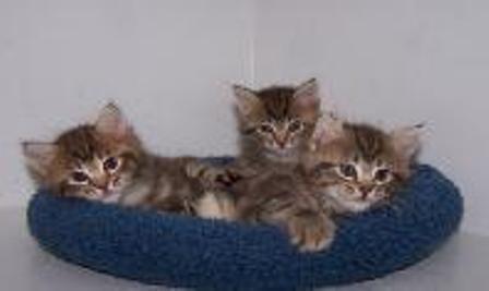 kucing-american-bobtail-lh-352