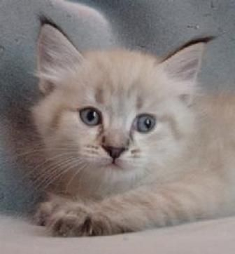 kucing-american-bobtail-lh-354
