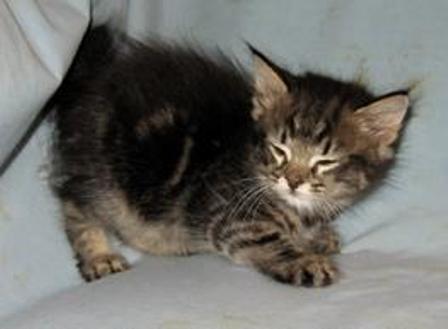kucing-american-bobtail-lh-355