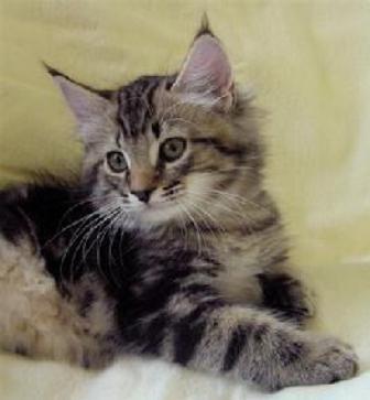 kucing-american-bobtail-lh-356