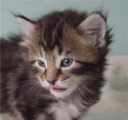 kucing-american-bobtail-lh-357