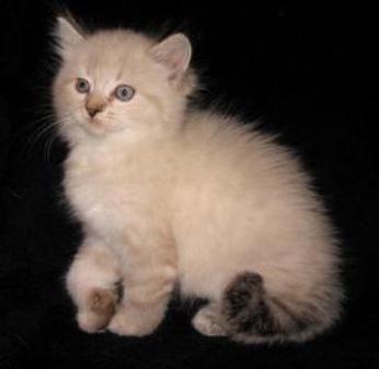 kucing-american-bobtail-lh-358