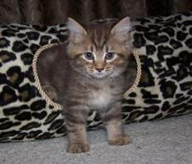 kucing-american-bobtail-lh-359