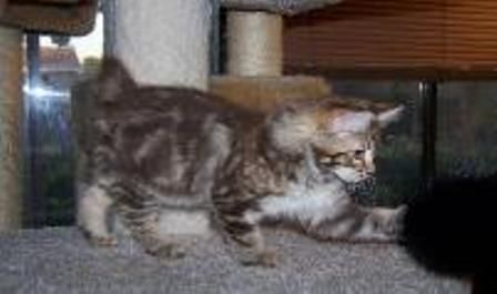 kucing-american-bobtail-lh-360