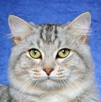 kucing-american-bobtail-lh-361