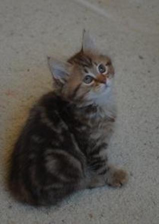kucing-american-bobtail-lh-362