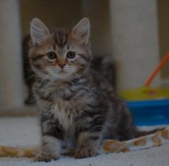 kucing-american-bobtail-lh-363