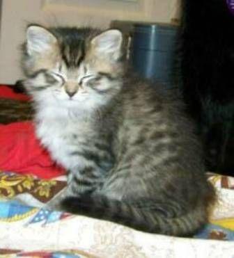 kucing-american-bobtail-lh-364