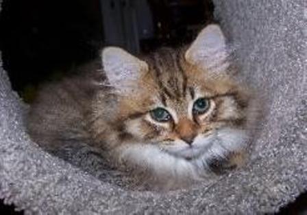 kucing-american-bobtail-lh-365