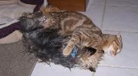 kucing-american-bobtail-lh-367