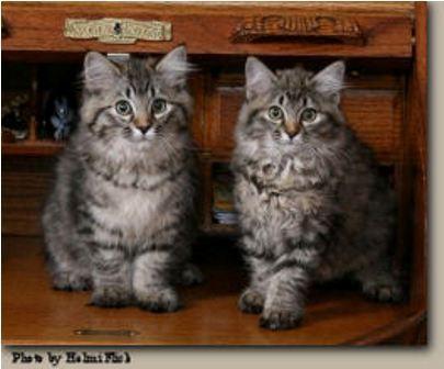 kucing-american-bobtail-lh-368