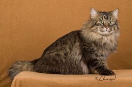 kucing-american-bobtail-lh-369