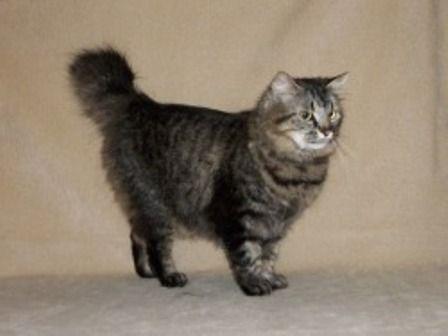 kucing-american-bobtail-lh-371