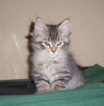 kucing-american-bobtail-lh-372