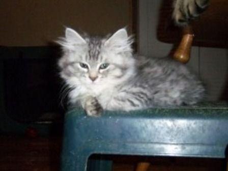 kucing-american-bobtail-lh-373