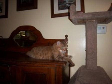kucing-american-bobtail-lh-374
