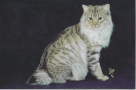 kucing-american-bobtail-lh-375