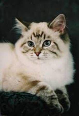 kucing-american-bobtail-lh-376