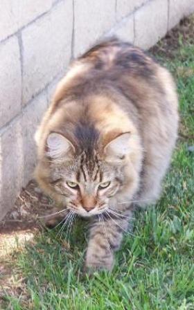 kucing-american-bobtail-lh-377