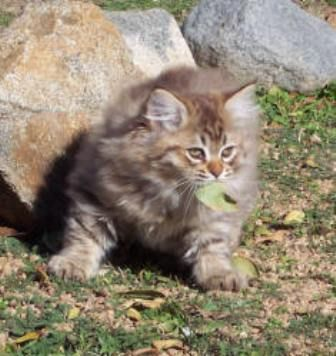 kucing-american-bobtail-lh-378