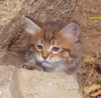 kucing-american-bobtail-lh-379