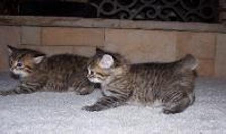 kucing-american-bobtail-lh-381