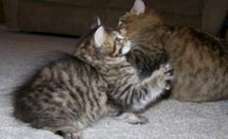 kucing-american-bobtail-lh-383