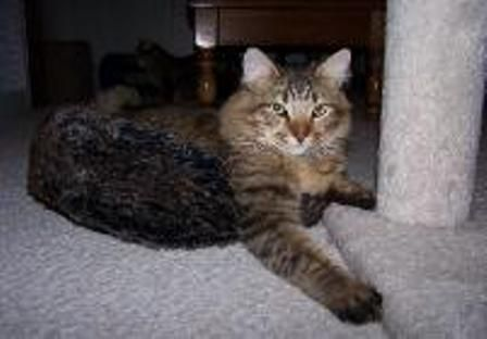 kucing-american-bobtail-lh-384