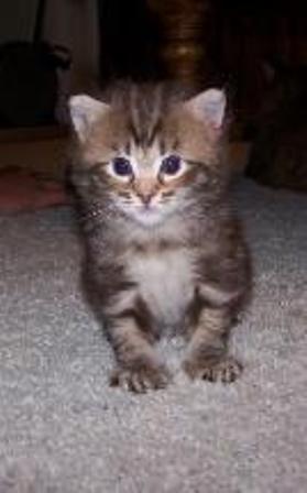 kucing-american-bobtail-lh-386