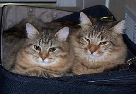 kucing-american-bobtail-lh-387