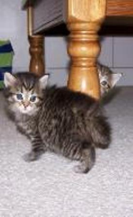 kucing-american-bobtail-lh-389