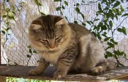 kucing-american-bobtail-lh-392