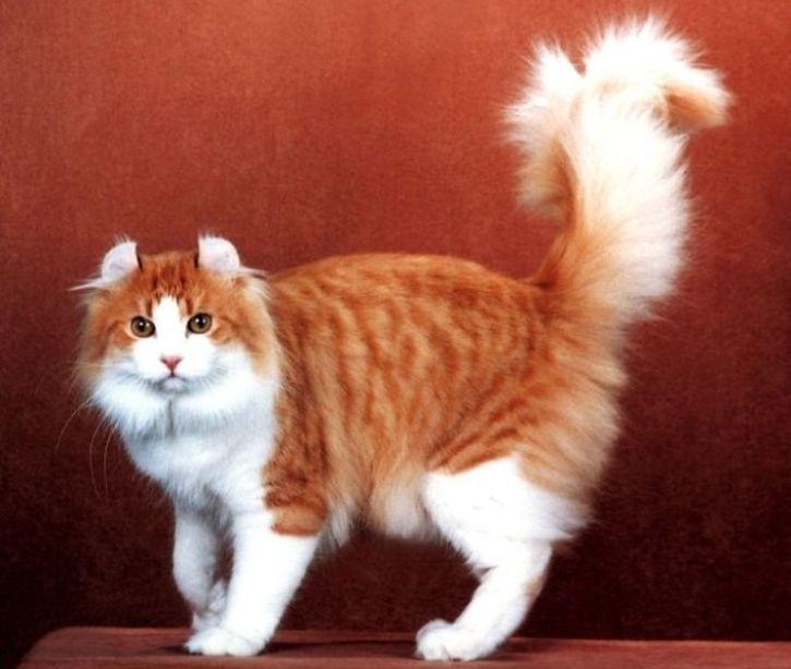 kucing american curl untuk dijual