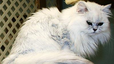 Kucing Persian: Kucing tercantik di dunia