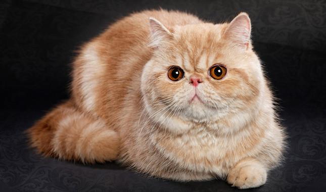 Kucing tercantik di dunia - Exotic Shorthair