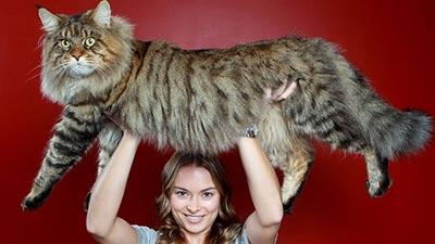 Maine Coon: Kucing tercantik di dunia