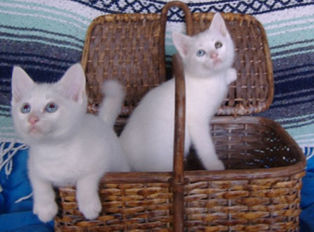 makanan-kucing-alpine-lynx-6