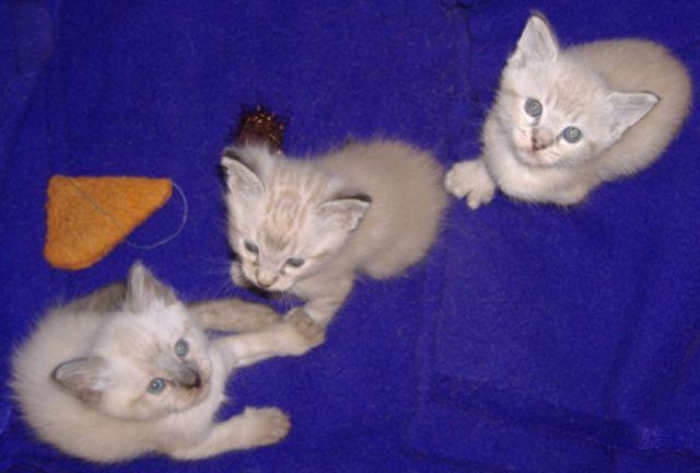 makanan-kucing-alpine-lynx-7