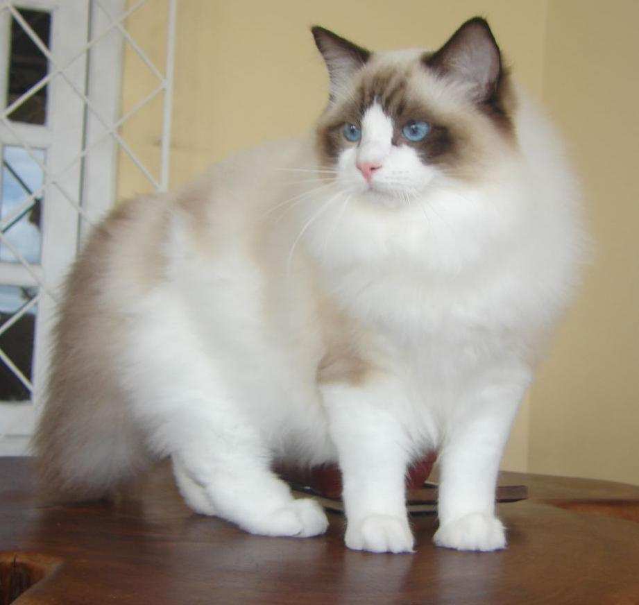 Ragdoll - Kucing tercantik di dunia
