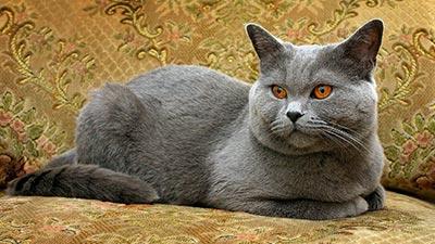 Russian Blue - kucing tercantik di dunia