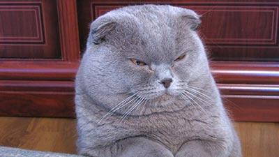 Scottish Fold: Kucing tercantik di dunia