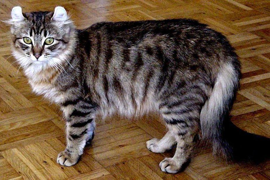 Kucing american curl longhair