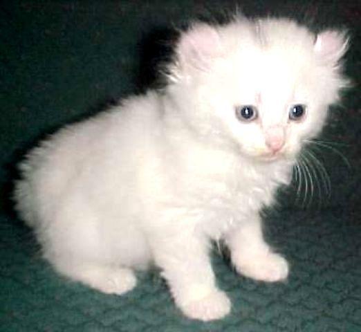 sejarah-kucing-alpine-lynx-13