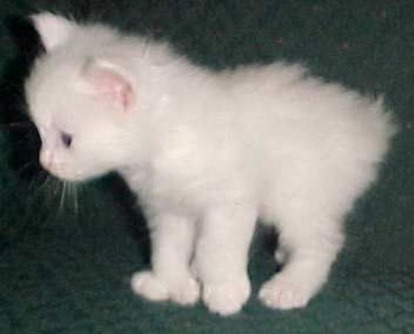 sejarah-kucing-alpine-lynx-15