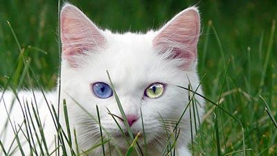 Turkish Angora: Kucing tercantik di dunia