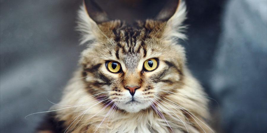 harga kucing maine coon kitten