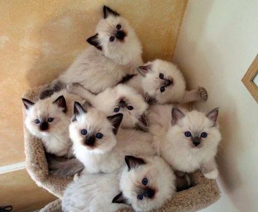 harga kucing ragdolls